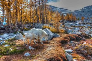Goats in the Enchantments