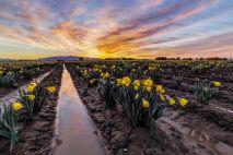 Daffodils Sunrise