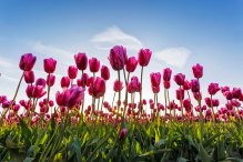 Late Afternoon Tulips