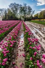Skagit Valley Tulip Festival 2015 Barn and Tulips 2
