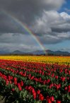 Skagit Valley Tulips Rainbow 2017