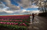 Tulips 2015 6