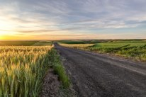 Palouse-wheat-at-sunset