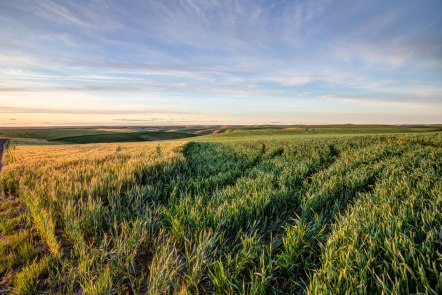 Palouse-Wheat-Sunset-Green-and-orange